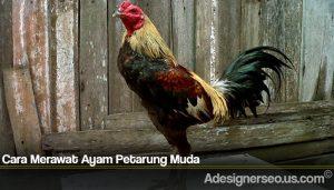 Cara Merawat Ayam Petarung Muda